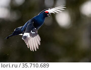 Male Black grouse (Tetrao / Lyrurus tetrix) in flight. Kuusamo, Finland, April. Стоковое фото, фотограф Markus Varesvuo / Nature Picture Library / Фотобанк Лори