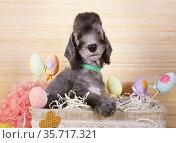 Two month old Bedlington Terrier puppy sitting in the basket. Стоковое фото, фотограф Алексей Кузнецов / Фотобанк Лори
