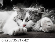 Серо-белая кошка спит на деревянном полу. Стоковое фото, фотограф E. O. / Фотобанк Лори