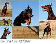 Portrait of a purebred doberman pinscher in the field or jumping dog. Стоковое фото, фотограф Zoonar.com/emmanuelle bonzami / age Fotostock / Фотобанк Лори