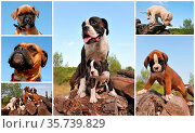 Composite picture with purebred dogs and puppies boxer outdoors. Стоковое фото, фотограф Zoonar.com/emmanuelle bonzami / age Fotostock / Фотобанк Лори