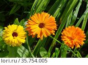 Яркая календула (лат. Calendula officinalis) цветет в саду. Стоковое фото, фотограф Елена Коромыслова / Фотобанк Лори