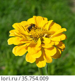 Пчела собирает нектар на цветке циннии (лат. Zinnia elegans) Стоковое фото, фотограф Елена Коромыслова / Фотобанк Лори