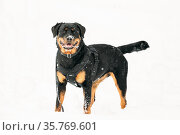 Black Rottweiler Metzgerhund Dog In Snow During Winter Day. Dog Is... Стоковое фото, фотограф Ryhor Bruyeu / easy Fotostock / Фотобанк Лори