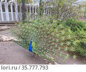 Самец обыкновенного павлина с раскрытым «хвостом» (Pavo cristatus). Московский зоопарк. Стоковое фото, фотограф Мария Кылосова / Фотобанк Лори