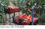 Crop of organic red cocktail tomatoes in crates in glasshouse. Стоковое видео, видеограф Яков Филимонов / Фотобанк Лори