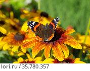 Бабочка Адмирал (лат. Vanessa atalanta) на цветке рудбекии крупным планом. Стоковое фото, фотограф Елена Коромыслова / Фотобанк Лори