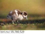 Egyptian goose (Alopochen aegyptiaca) gosling feeding on grass, London, UK, February. Стоковое фото, фотограф Oscar Dewhurst / Nature Picture Library / Фотобанк Лори
