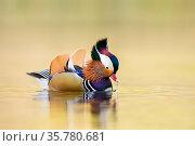 Mandarin duck (Aix galericulata) male displaying, London, UK, April. Стоковое фото, фотограф Oscar Dewhurst / Nature Picture Library / Фотобанк Лори