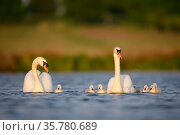 Mute swan (Cygnus olor) parents and cygnets swimming, London, UK, April. Стоковое фото, фотограф Oscar Dewhurst / Nature Picture Library / Фотобанк Лори