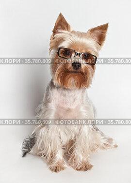 Йоркширский терьер в очках на белом фоне