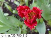 Цветок красного тюльпана с бахромой на лепестках. Вид сверху. Стоковое фото, фотограф Светлана Шимкович / Фотобанк Лори