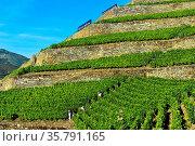 Steile Weinbergterassen auf Trockenmauern aus Naturstein, Weinberg... Стоковое фото, фотограф Zoonar.com/Georg_A / age Fotostock / Фотобанк Лори