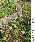 Тюльпаны Кауфмана (Tulipa kaufmanniana) Стоковое фото, фотограф Мария Кылосова / Фотобанк Лори