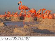 Caribbean flamingos (Phoenicopterus ruber) breeding colony, Ria Lagartos Biosphere Reserve, Yucatan Peninsula, Mexico, June. Стоковое фото, фотограф Claudio Contreras / Nature Picture Library / Фотобанк Лори