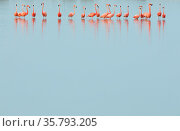 Caribbean flamingos (Phoenicopterus ruber) line of adults standing in water, Ria Lagartos Biosphere Reserve, Yucatan Peninsula, Mexico, May. Стоковое фото, фотограф Claudio Contreras / Nature Picture Library / Фотобанк Лори