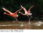 Caribbean flamingos (Phoenicopterus ruber) two taking off, Ria Celestun Biosphere Reserve, Yucatan Peninsula, Mexico, January. Стоковое фото, фотограф Claudio Contreras / Nature Picture Library / Фотобанк Лори