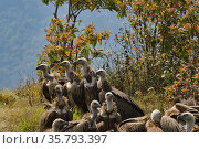 Himalayan griffon vulture (Gyps himalayensis) flock, Astam, South of Annapurna mountains, Nepal. Стоковое фото, фотограф Dave Watts / Nature Picture Library / Фотобанк Лори