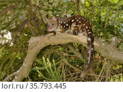 Spotted-tailed quoll (Dasyurus maculatus) resting on Banksia branch, Tasmania, Australia. Стоковое фото, фотограф Dave Watts / Nature Picture Library / Фотобанк Лори