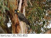 Yellow-tailed black cockatoo (Calyptorhynchus funereus) Tasmania, Australia. Стоковое фото, фотограф Dave Watts / Nature Picture Library / Фотобанк Лори