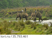 Asiatic elephants (Elephas maximus) carrying grass for fodder from buffer zone, Chitwan National Park, Nepal March 2019. Стоковое фото, фотограф Dave Watts / Nature Picture Library / Фотобанк Лори