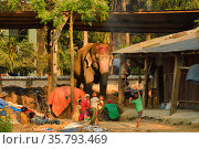 Domesticated Asiatic elephant (Elephas maximus) with village family and children dancing, Sauraha village, bordering Chitwan National Park, Nepal March 2019. Стоковое фото, фотограф Dave Watts / Nature Picture Library / Фотобанк Лори