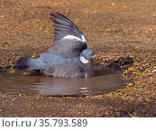 Wood pigeon (Columba palumbus) bathing in puddle in winter, Norfolk, England, UK. March. Стоковое фото, фотограф Ernie  Janes / Nature Picture Library / Фотобанк Лори
