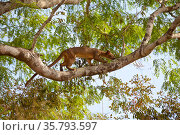 Fossa (Cryptoprocta ferox) climbing tree , Kirindy Forest Private Reserve, Madagascar, Vulnerable, endemic. Стоковое фото, фотограф Lorraine Bennery / Nature Picture Library / Фотобанк Лори