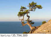 Relict pine on a steep rocky slope above the sea against a cloudless... Стоковое фото, фотограф Zoonar.com/Sergey Rybin / age Fotostock / Фотобанк Лори