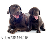 Purebred labrador retriever, adult and puppy in front of white background. Стоковое фото, фотограф Zoonar.com/Emmanuelle BONZAMI / age Fotostock / Фотобанк Лори