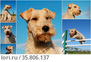 Composite picture with purebred dogs fox terrier on a blue sky. Стоковое фото, фотограф Zoonar.com/emmanuelle bonzami / age Fotostock / Фотобанк Лори