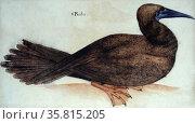 """Bobo,"" bird; watercolour by John White, circa 1585. Редакционное фото, агентство World History Archive / Фотобанк Лори"