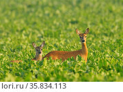 Reh mit Kitz im Sommer, Roe deer with fawn in summer, Capreolus capreolus... Стоковое фото, фотограф Zoonar.com/Michael Breuer / age Fotostock / Фотобанк Лори
