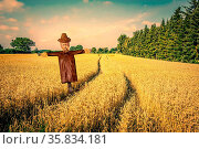 Scarecrow in a countryside landscape with golden fields. Стоковое фото, фотограф Zoonar.com/Kasper Nymann / age Fotostock / Фотобанк Лори