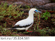 Red-footed Booby (Sula sula) with a stick in its beak, Genovesa Island... Стоковое фото, фотограф Zoonar.com/Don Mammoser / age Fotostock / Фотобанк Лори