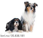 Portrait of a purebred shetland dog and cavalier king charles in ... Стоковое фото, фотограф Zoonar.com/BONZAMI Emmanuelle / age Fotostock / Фотобанк Лори