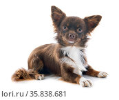 Brown chihuahua in front of white background. Стоковое фото, фотограф Zoonar.com/BONZAMI Emmanuelle / age Fotostock / Фотобанк Лори