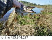 Пойманная щука в руке рыбака. Стоковое фото, фотограф Dmitry29 / Фотобанк Лори