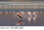 Andean flamingo (Phoenicoparrus andinus) runs across the water to take off , Laguna Colorado, Eduardo Avaroa Andean Fauna National Reserve, altiplano of Bolivia. March. Стоковое фото, фотограф John Shaw / Nature Picture Library / Фотобанк Лори