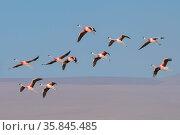 Andean flamingo (Phoenicoparrus andinus) flock in flight, Laguna Colorado, Bolivia. March. Стоковое фото, фотограф John Shaw / Nature Picture Library / Фотобанк Лори
