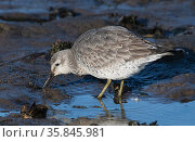 Red knot (Calidris canutus) in winter plumage feeding on tidal mudflats. Holy Island (Lindisfarne), Northumberland, England, UK December. Стоковое фото, фотограф Roger Powell / Nature Picture Library / Фотобанк Лори