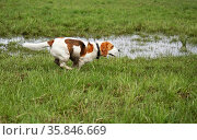 Бигль бежит по траве. Стоковое фото, фотограф Dmitry29 / Фотобанк Лори