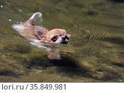 Portrait of a cute purebred puppy chihuahua swimming in a river. Стоковое фото, фотограф Zoonar.com/BONZAMI Emmanuelle / age Fotostock / Фотобанк Лори
