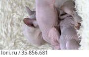 Mother Canadian Sphynx Cat breed sitting and breastfeeding kittens. Стоковое видео, видеограф А. А. Пирагис / Фотобанк Лори