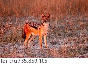 Schabrackenschakal im frühen Morgenlicht, Moremi Wildreservat Botswana. Стоковое фото, фотограф Zoonar.com/Wibke Woyke / age Fotostock / Фотобанк Лори