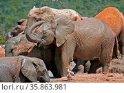 Badende Elefanten, Südafrika, Bathing Elephants, South Africa. Стоковое фото, фотограф Zoonar.com/Wibke Woyke / age Fotostock / Фотобанк Лори