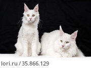 Two Maine Coon Cats on black and white background. Стоковое фото, фотограф А. А. Пирагис / Фотобанк Лори