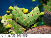 Galapagos prickly pear in heart shape on Rabida Island, Galapagos... Стоковое фото, фотограф Zoonar.com/Don Mammoser / age Fotostock / Фотобанк Лори