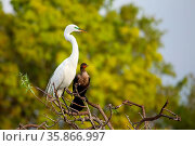 Great Egret (Ardea alba) sitting on a tree branch. Стоковое фото, фотограф Zoonar.com/Don Mammoser / age Fotostock / Фотобанк Лори
