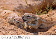 Borstenhörnchen, Erdhörnchen, Namibia, Xerus, african ground squirrel... Стоковое фото, фотограф Zoonar.com/W. Woyke / age Fotostock / Фотобанк Лори